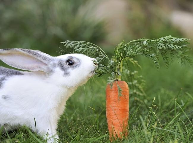 thỏ ăn nhiều cà rốt có tốt không