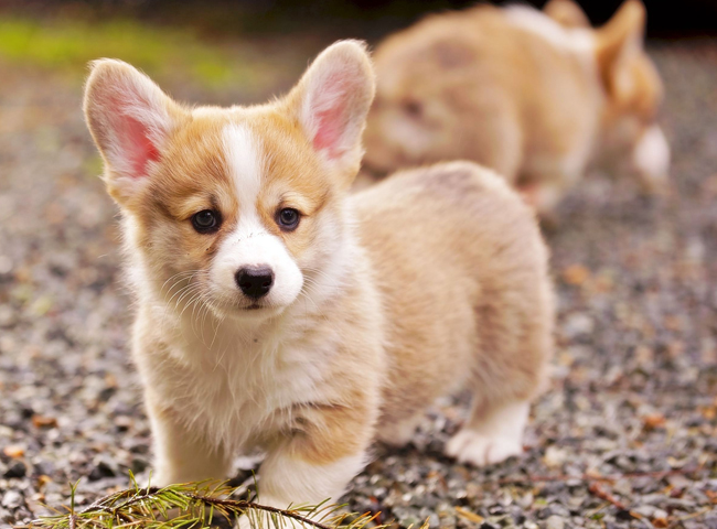 thong tin ve cho pembroke welsh corgi