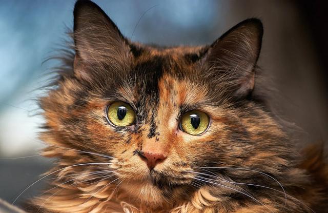 Mèo Mai Rùa