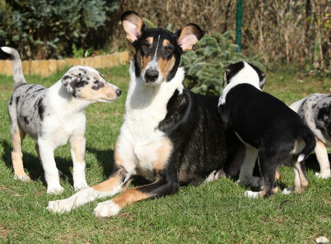 tinh cach cho smooth collie long muot