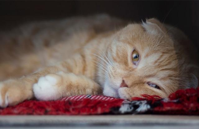 Trầm Cảm Ở Mèo