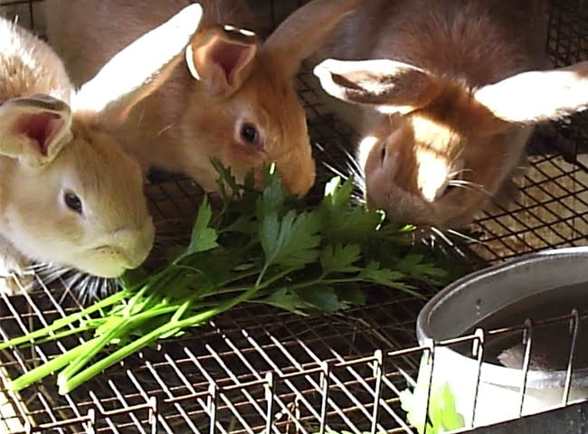 trẻ em có chăm sóc thỏ kiểng được không
