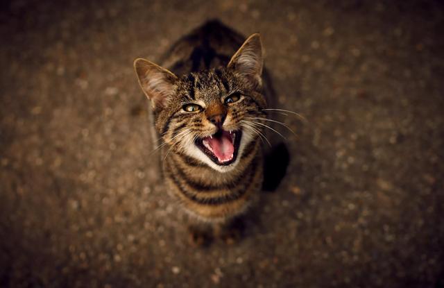 Mèo Cái Có Mãn Kinh Không