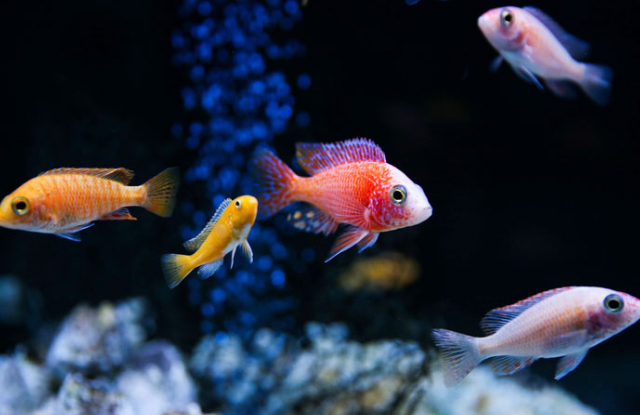 Tuổi thọ của cá cảnh