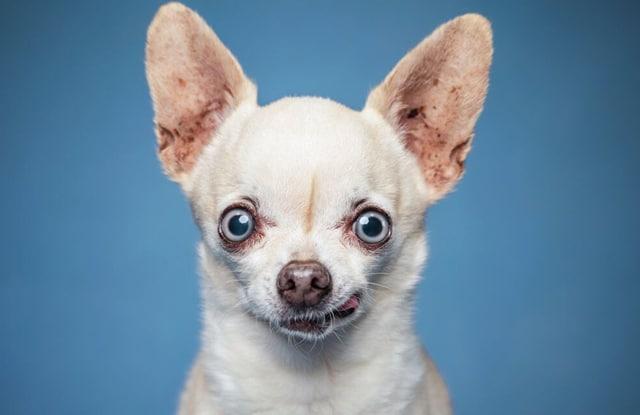 Ưu Điểm Nhược Điểm Của Chó Chihuahua