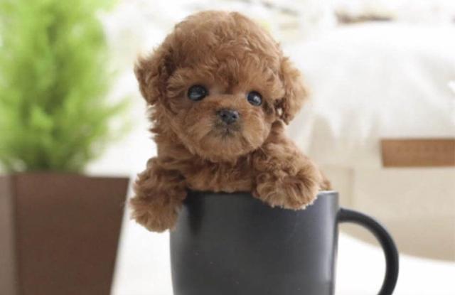 van de suc khoe cho poodle teacup