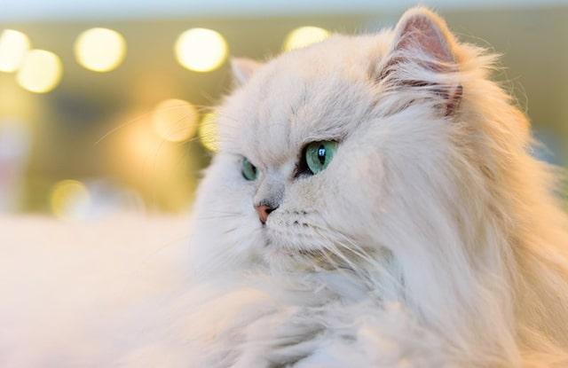 Vật Dụng Cho Mèo Ba Tư