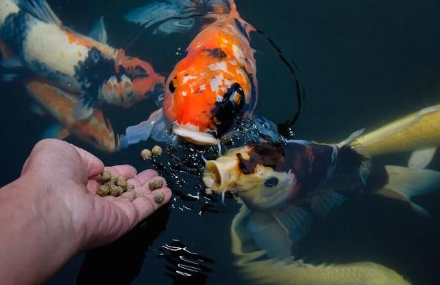 Lượng Thức Ăn Cho Cá