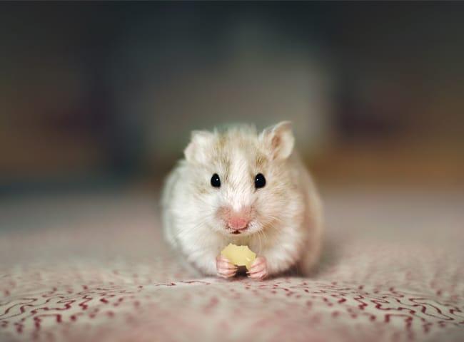 xác định tuổi của chuột hamster