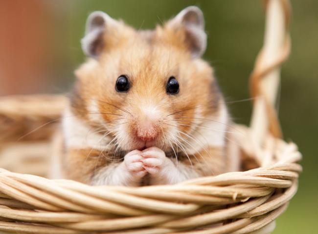 Chuột Hamster Kêu Rít